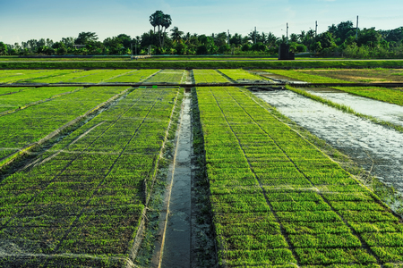 Beautiful view of rice seedlings in the field in Suphanburi Thailand.