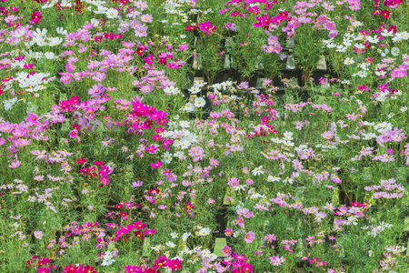 Colorful of Sulfur Cosmos flowers on a rack decorate in park.