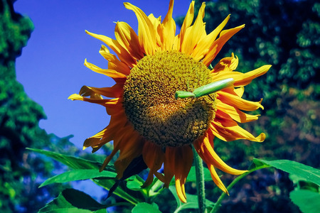 Grasshopper find food on sunflowers in the morning.