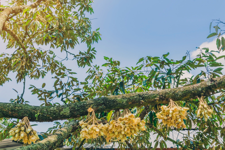 Flowering and growing of durian flowers on trees in April at Chanthaburi, Thailand