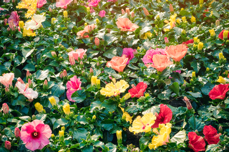 Beautiful of colorful hibiscus flowers in public garden at Ho Chi Minh City, Vietnam.