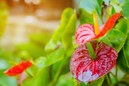Close up of anthurium red Flamingo flowers or Boy flowers Pigtail Anthurium in botanic garden (Anthurium andraeanum, Araceae or Arum)