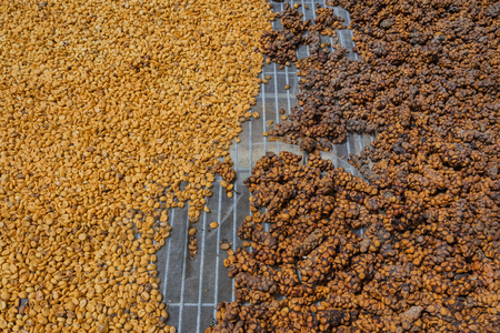 Luwak coffee, unclean coffee beans,  Kopi luwak is coffee that includes part-digested coffee cherries eaten and defecated by the Asian palm civet at coffee drying yard in Dalat, Vietnam.