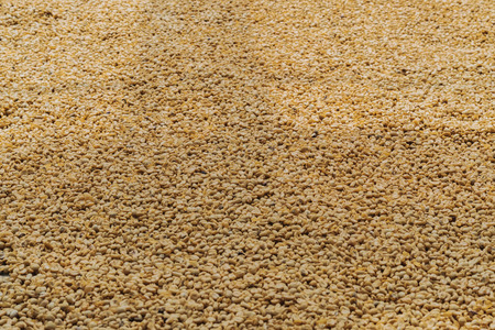 Luwak coffee, unclean coffee beans, Kopi luwak is coffee that includes part-digested coffee cherries eaten and defecated by the Asian palm civet at coffee drying yard in Dalat, Vietnam. Foto de archivo