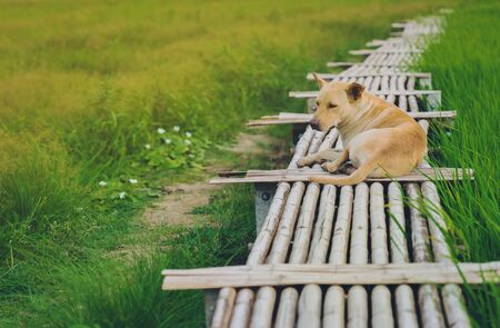 A brown dog on wooden bamboo bridge walkway spanning to the rice field in evening. Stockfoto