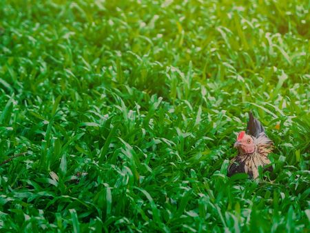Rooster and hen relax and finding food in green field. Banco de Imagens