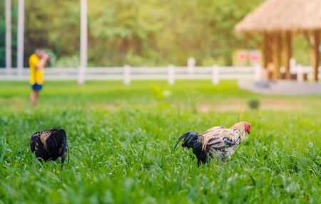 Rooster and hen relax and finding food in green field. Imagens
