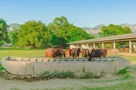 Pferde, die abends Reisstroh auf der Pferdefarm essen
