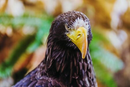 Beautiful close-up shot of a Steller's Sea Eagle. Scientific name: Haliaeetus pelagicus.