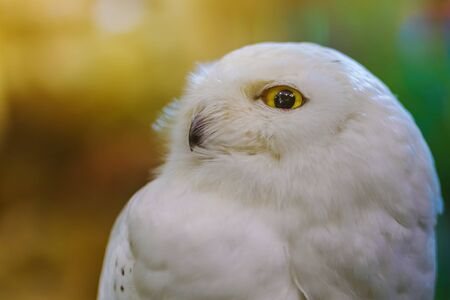 Close up to a portrait (head shot) of a passive Snowy Owl (Bubo scandiacus) showing it's mesmerising, wide-opened, yellow eyes and sitting on a post.