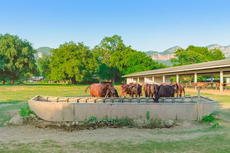 Horses eating rice straw at horse farm in evening Banco de Imagens