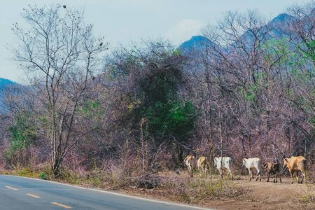 Herd of cows walk for food on the side of the road in the midst of dry trees on April of Thailand.