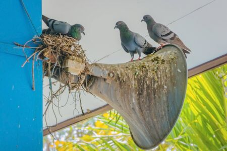 Pigeons built a nest and resting on the old horn speaker attached to the building pole. Reklamní fotografie