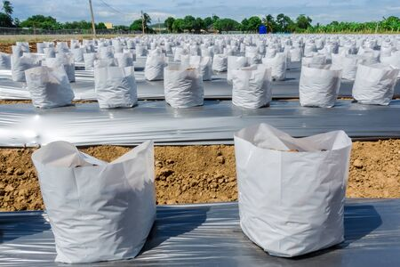 Row fo Coconut coir in nursery white bag for farm with fertigation , irrigation system to be used for growing strawberries. Stok Fotoğraf