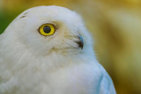 Close up to a portrait (head shot) of a passive Snowy Owl (Bubo scandiacus) showing its mesmerising, wide-opened, yellow eyes and sitting on a post.