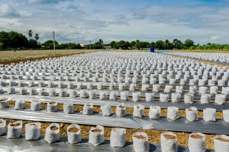 Row fo Coconut coir in nursery white bag for farm with fertigation , irrigation system to be used for growing strawberries. Reklamní fotografie