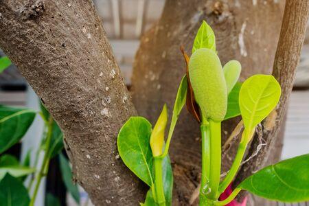 Fresh green young jackfruits (Artocarpus heterophyllus) growing on the jackfruit tree. Asian tropical fruit. Reklamní fotografie - 132125844