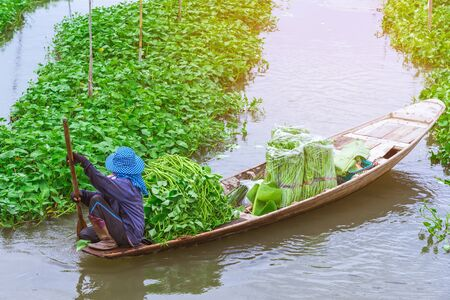 Female farmer paddle in the river to collect morning glory for sale at the market. Morning glory is a tropical food that contains vitamins and nutrients for the body.