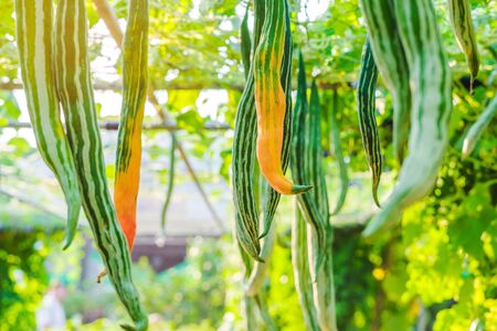 Snake gourd (Trichosanthes anguina Linn) hanging in vegetable garden. Selective focus.