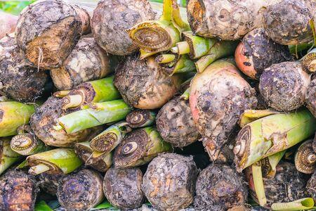 Bananensauger unter der Erde ist ein großes Rhizom, das als Knollen bezeichnet wird, um sich auf das Pflanzen von Bäumen vorzubereiten.