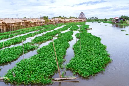 Female farmer paddle in the river to collect morning glory for sale beside Sa Pan Khong floating market in Suphan Buri province, Thailand. Morning glory is a tropical food that contains vitamins and nutrients for the body.