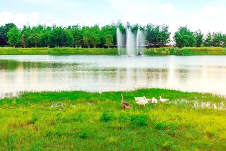 Group of swan eating near the  reservoir in the public park 스톡 콘텐츠