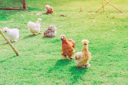 Many chickens rest happily on the chicken farm in the afternoon. Outdoors close up selective focus image.