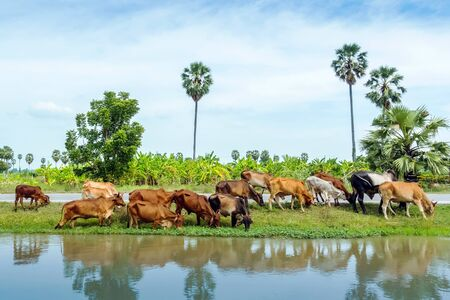Herds of cows are eating grass on the side of the road near the irrigation canal.