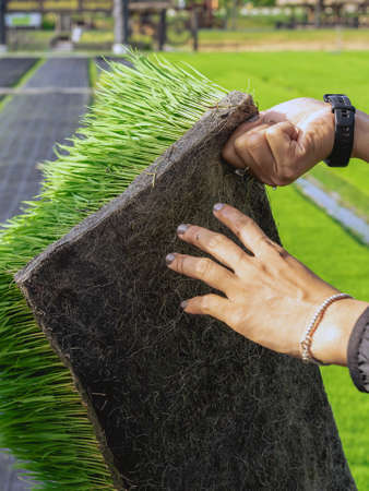 Hands of female farmer holding young rice sprout ready to grow in rice field.Farmer transplanting rice seedlings.Fragrant jasmine rice seedlings preparation for planting.Selective focus on right hand.