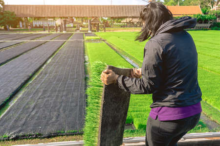 Asian female farmer holding young rice sprout ready to grow in rice field. Farmer transplanting rice seedlings. Fragrant jasmine rice seedlings preparation for planting.Modern method of rice planting. Stock fotó