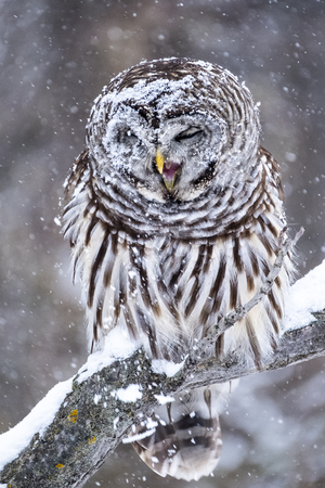 Portrait of a beautiful Barred Owl under the snow