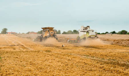 Wheat harvesting on field in summer season. Two modern combine harvesters with grain header, wide chaff spreader cut and threshes ripe wheat grain . Process of gathering crop by agricultural machinery Фото со стока
