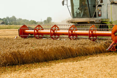 Rotary straw walker cut and threshes ripe wheat grain. Man in combine harvesters with grain header, wide chaff spreader reaping cereal ears. Gathering crop by agricultural machinery on field in summer