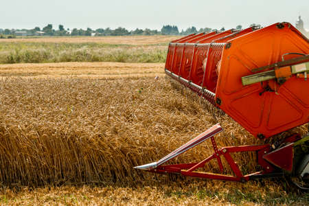 Rotary straw walker combine harvester cuts and threshes ripe wheat grain. Platform grain header with thresher reel, cutter bar reaping cereal ears. Gathering crop by agricultural machinery on field