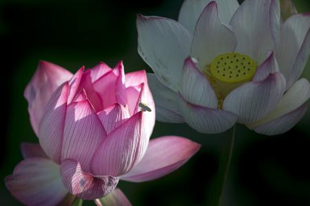 bee on flower: bee on lotus flower Stock Photo