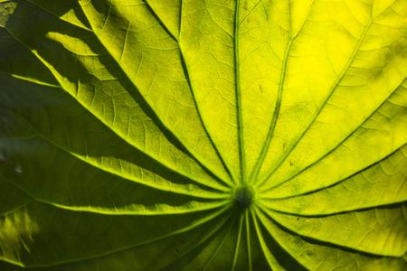 close up: Lotus leaf close up Stock Photo