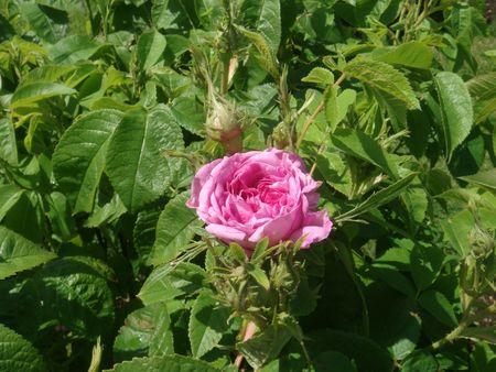 pink rose under the sun photo