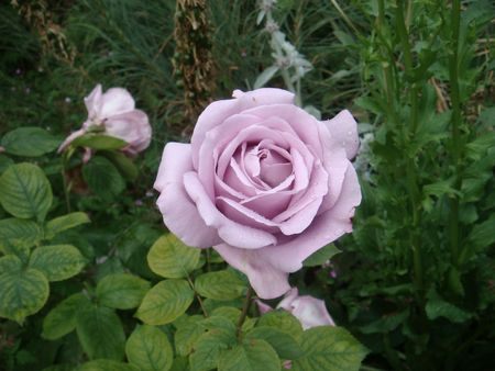 hyde: Roses in the hyde park