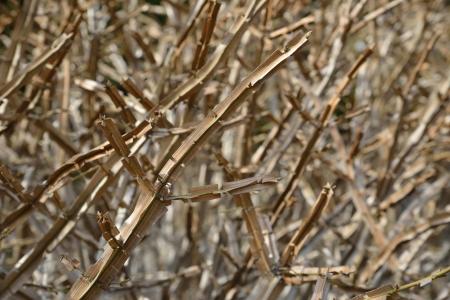 winged euonymus, arrow tree twig