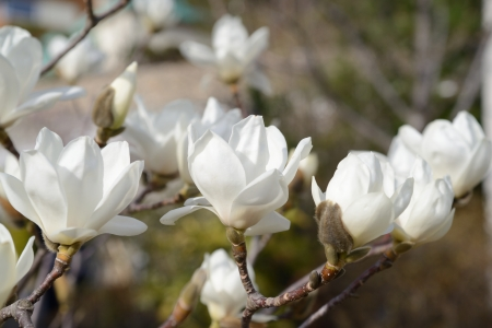 a beautiful white magnolia flower with fresh odor photo