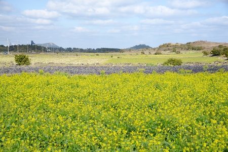 Canola flowers in full bloom, Jeju Island in Korea  photo