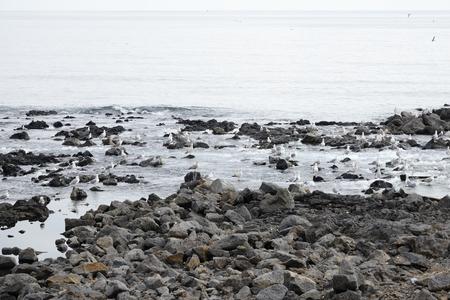 vesicular stone: Seagulls in a basaltic seaside in Jeju Island