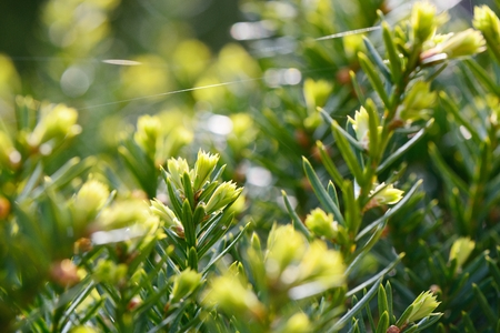 sprouted: Closeup of sprouted yew tree in spring