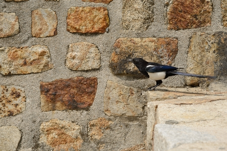 pica: magpie on stairs in front of wall
