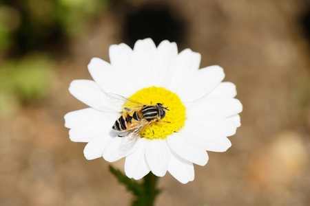 Bee on a white marguerite flower in summer photo
