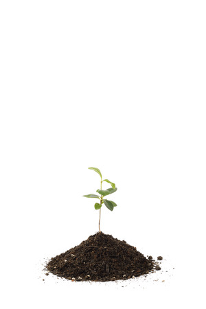 young Pittosporum tobira and small heap of soil for repotting, isolated on white background photo