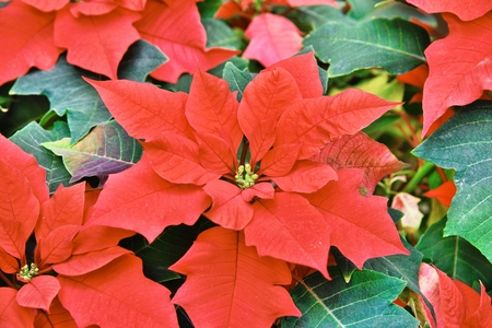 closeup of Red colored poinsettia leaves