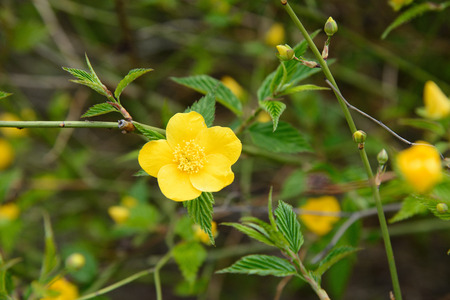 five petals: closeup of a yellow flower which has five petals