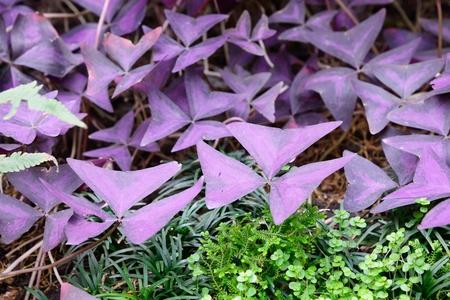 oxalis: closeup of Leaves of oxalis triangularis