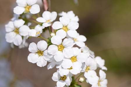 wilding: Closeup of white colored bridal wreath flowers Stock Photo